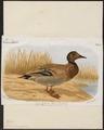 Querquedula crecco - 1883 - Print - Iconographia Zoologica - Special Collections University of Amsterdam - UBA01 IZ17600429.tif
