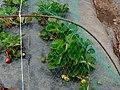 Quinta Pedagógica - Plantação de morangos.JPG