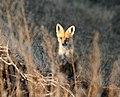 RED FOX (Vulpes vulpes) (5-2-07) atascadero waste tx plant, slo co, ca (2365777430).jpg