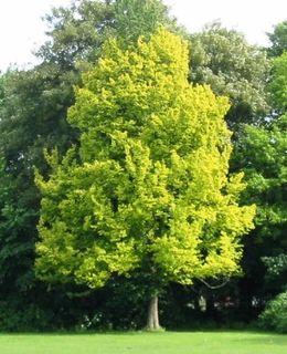 <i>Ulmus</i> × <i>hollandica</i> Wredei Hybrid elm cultivar