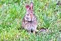 Rabbit (19462737360).jpg