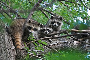 Raccoons in a tree.