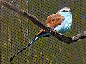 Racquet-tailed Roller RWD.jpg
