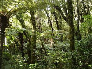 Rain forest NZ