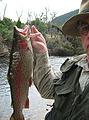 Rainbow Trout Tasmania.jpg