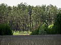 Rakivka forest.jpg