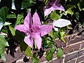 Ranunculales - Clematis cultivars - 3.jpg