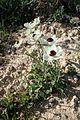 Ranunculus asiaticus kz9.jpg