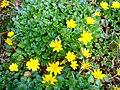 Ranunculus ficaria, from Rize DSC06931.JPG