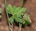 Ranunculus repens in Aveyron (2).jpg