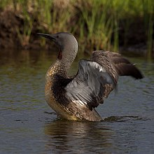 Adult loon in breeding plumage, reared up on the water with its wings spread.