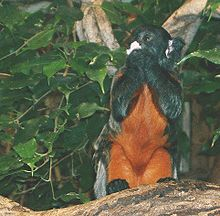 Red-bellied tamarin.jpg