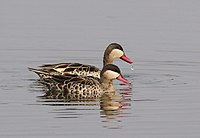 Red-billed Teal, Anas erythrorhyncha at Borakalalo National Park, South Africa (9900191526).jpg