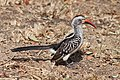 Red-billed hornbill (7827287244).jpg