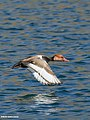 Red-crested Pochard (Netta rufina) (28227136477).jpg