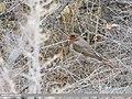 Red-throated Thrush (Turdus ruficollis) (50800325163).jpg