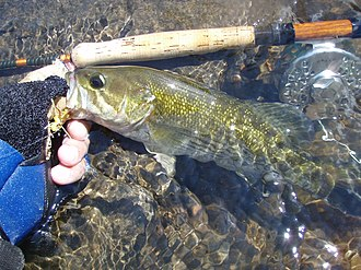 Redeye bass - Fly rod caught Redeye Bass, Tallapoosa River, Tallassee, Alabama (Released)