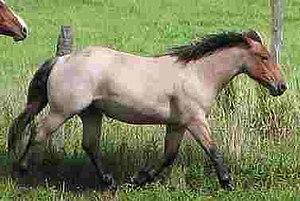 Roan (color) - A bay roan horse