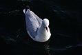 Red Billed Gull (13399074623).jpg