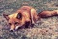 Red Fox is very common host of Rabies Virus.jpg