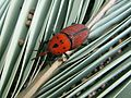 Red Palm Weevil (Picudo Rojo) - Flickr - treegrow.jpg