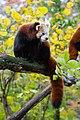 Red Panda (37661546655).jpg
