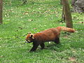 Red panda china.jpg