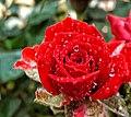 Red rose here.jpg