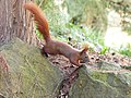 Red squirrel jumping.jpg
