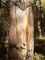 Rezerwat przyrody Dęby w Meszczach 12.39.jpg
