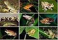 Rhacophoridae diversity.jpg