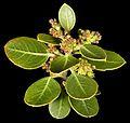 Rhamnus alaternus (8692911406).jpg