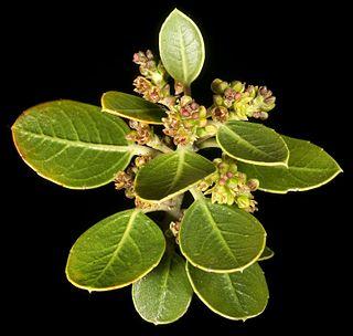 <i>Rhamnus alaternus</i>