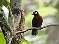 Rhegmatorhina cristata - Chestnut-crested Antbird (cropped).jpg