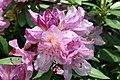 Rhododendron catawbiense Grandiflorum 8zz.jpg