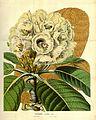 Rhododendron falconeri.jpg