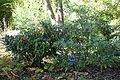 Rhododendron metternichii - Quarryhill Botanical Garden - DSC03566.JPG