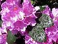 Rhododendronpark Bremen 2.jpg