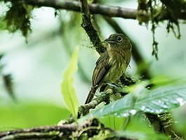 Rhynchocyclus fulvipectus - Fulvous-breasted Flatbill - 3.jpg