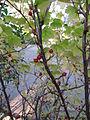 Ribes fasciculatum1.jpg