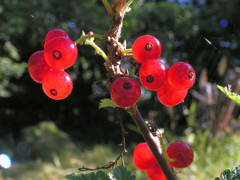 File:Ribes rubrum20140705 087.jpg