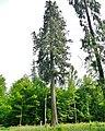 Riesenmammutbaum Sequoia, Sequoiadendron giganteum im Schönbuch, gepflanzt 1868 durch König Wilhelm I, Erst 1850 in der Klaifornischen Nevada entdeckt. Auf Veranlassung König Wilhelms I. in den Kalthäusern der Wi - panoramio.jpg