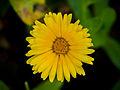 Ringelblume, Calendula officinalis (02).jpg