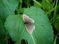 Ringlet (Aphantopus hyperantus) (8189142390).jpg