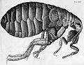 Robert Hooke, Micrographia, flea Wellcome M0016995.jpg