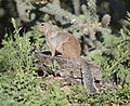 Rock Squirrel adult 02.jpg