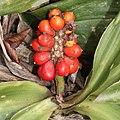 Rohdea japonica (fruits s3).jpg