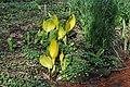 Rombergpark-100331-11449-Lysichiton-americanus.jpg