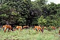 Roosevelt Sable (Hippotragus niger roosevelti) herd (36156344385).jpg