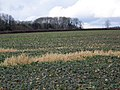 Root crops near Pimperne - geograph.org.uk - 1718001.jpg